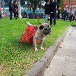 Dogs carnival at Las Palmas